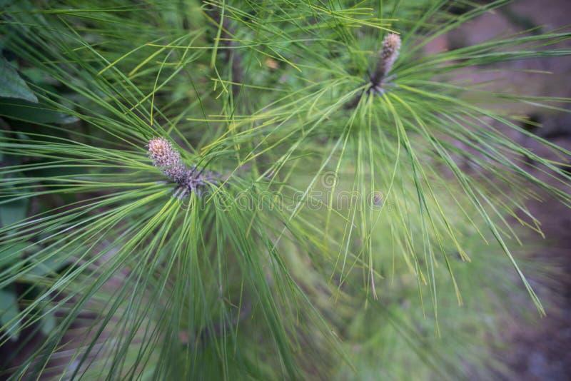 Pine blossom closeup stock image