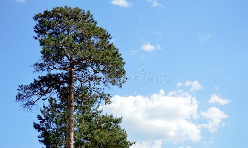 Pine stock photos