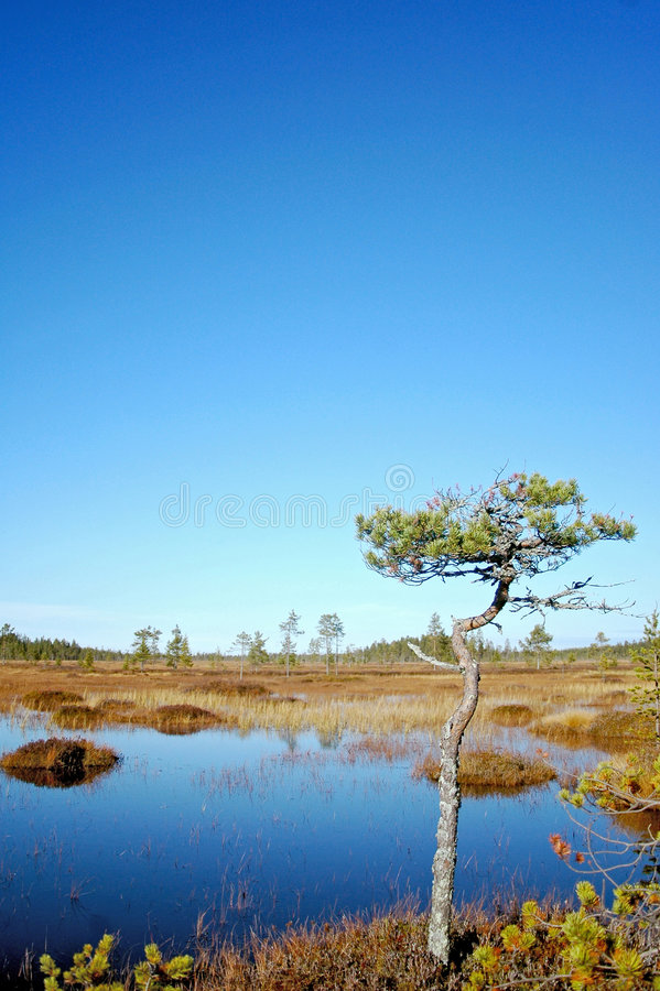 Pine on bog royalty free stock images