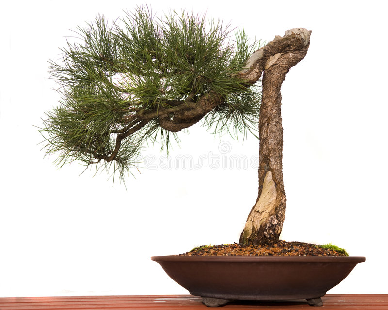 Pine Bonsai royalty free stock photos