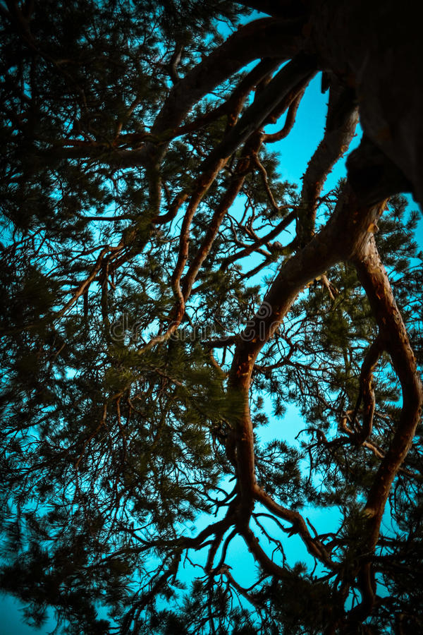 Pine bottom view stock photography