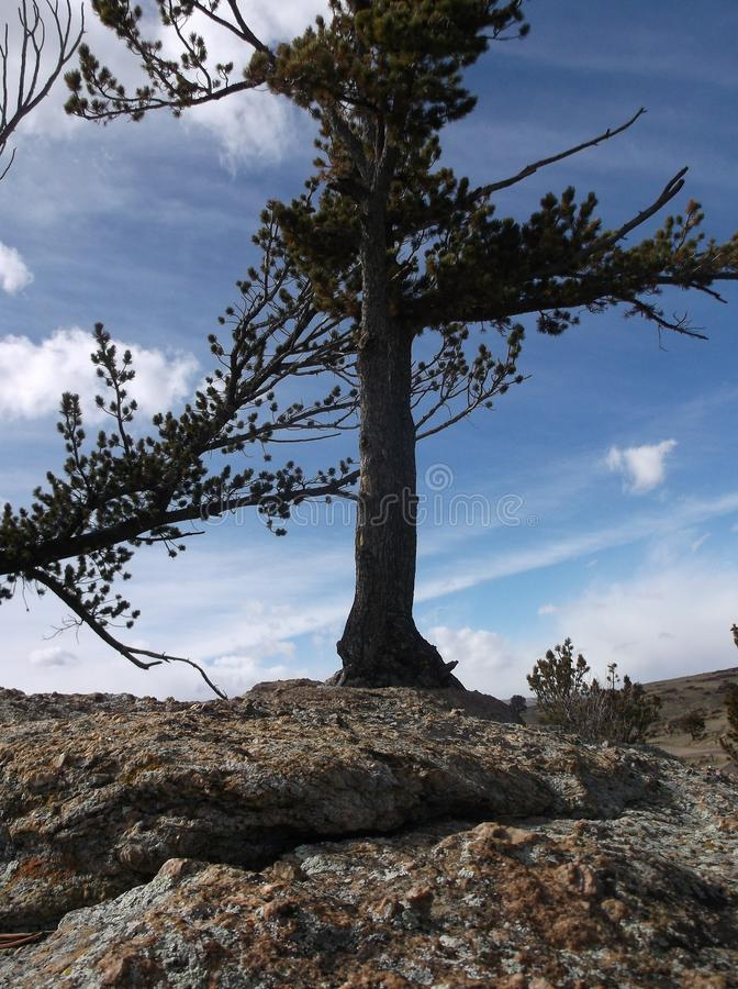 Pine on Boulders royalty free stock image