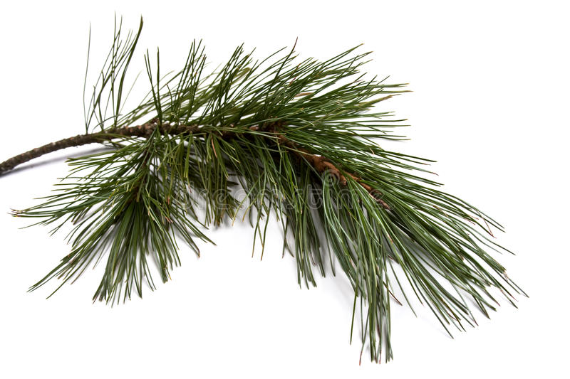 Pine branch. Nordic (Finland) pine branch isolated on white royalty free stock photography