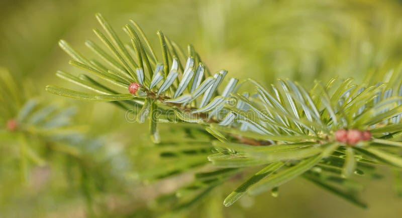 Pine branch royalty free stock photo