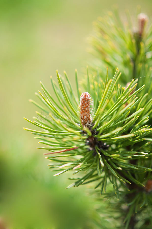 Download Pine branch stock image. Image of piny, summer, coniferous - 14111431