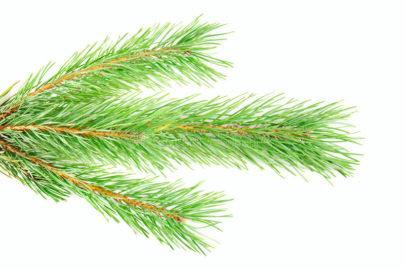 Download Pine branch stock photo. Image of needle, background - 26332928