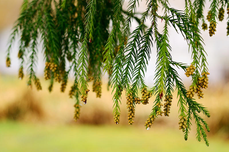 Download Pine branch stock image. Image of branch, nature, conifer - 28298787
