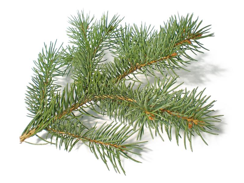 Pine branch royalty free stock photo