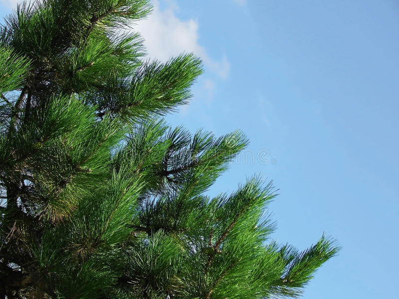 Pine branch on the blue sky stock photo