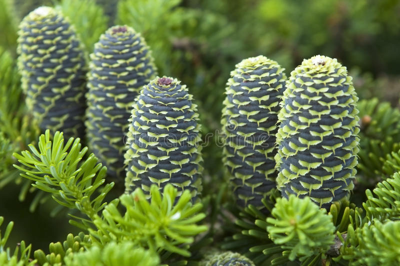 Download Pine branch with cone stock image. Image of macro, detail - 10904779