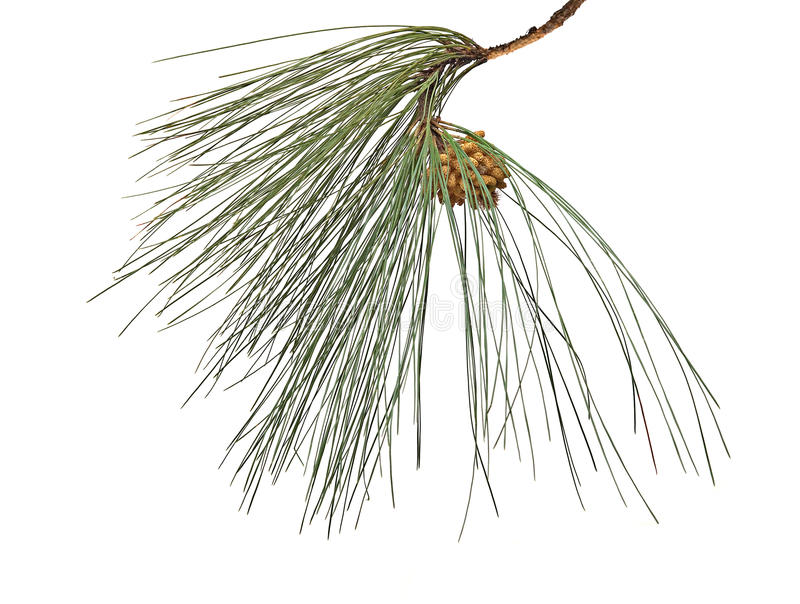 Download Pine Branch With Cone Royalty Free Stock Photos - Image: 16528118