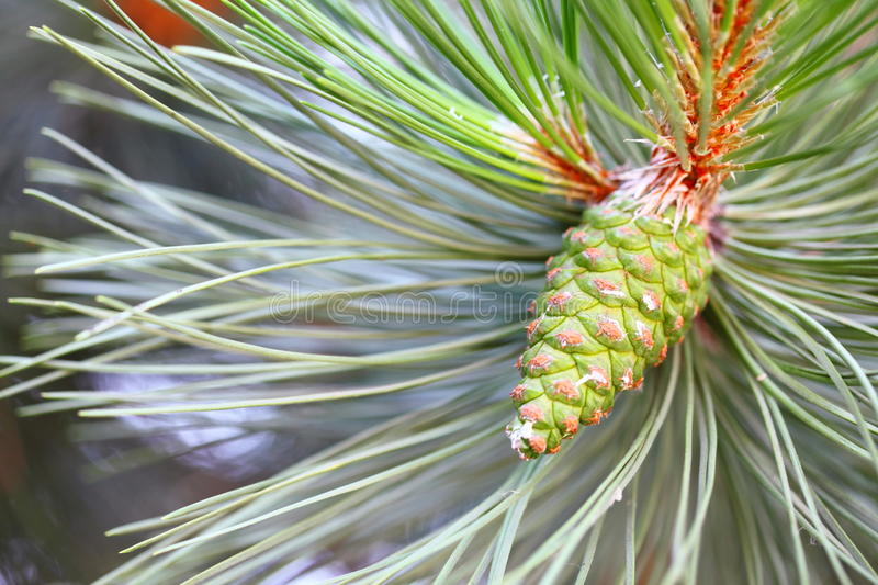 Download Pine Branch With Cone Royalty Free Stock Image - Image: 35934806