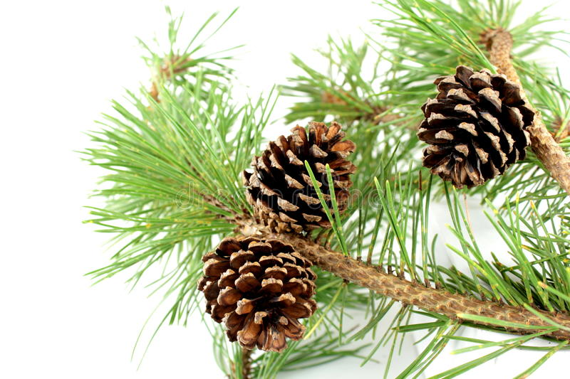 Pine branch and cones. On white background royalty free stock photography