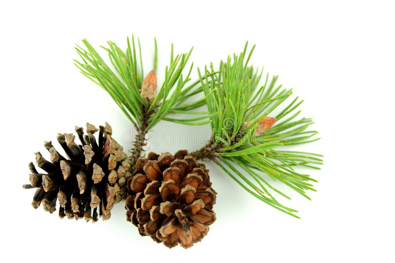 Pine branch and cones. On white background royalty free stock photos