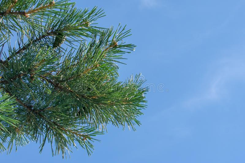 A pine branch with green cones against the blue sky in the park. royalty free stock photo
