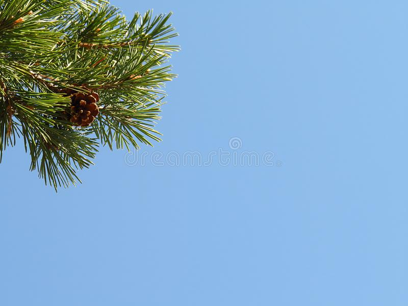 Pine branch with green needles in sunny day in the left upper corner of image on clean blue sky background with big empty space fo. Pine branch with green royalty free stock photos