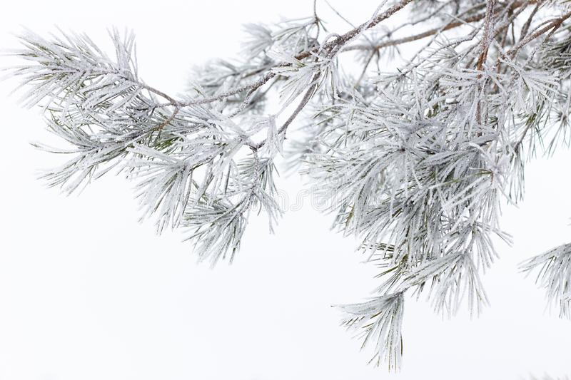 Pine branch hoarfrosted with rime on white snow background. Closeup, copy space, festive christmas and new year concept stock images