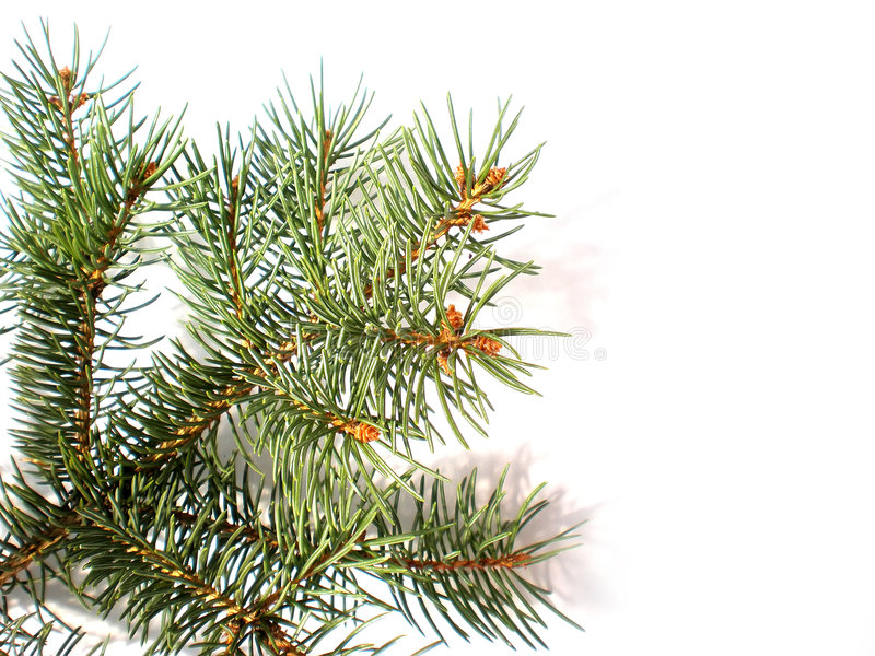 Pine branch isolated royalty free stock photography
