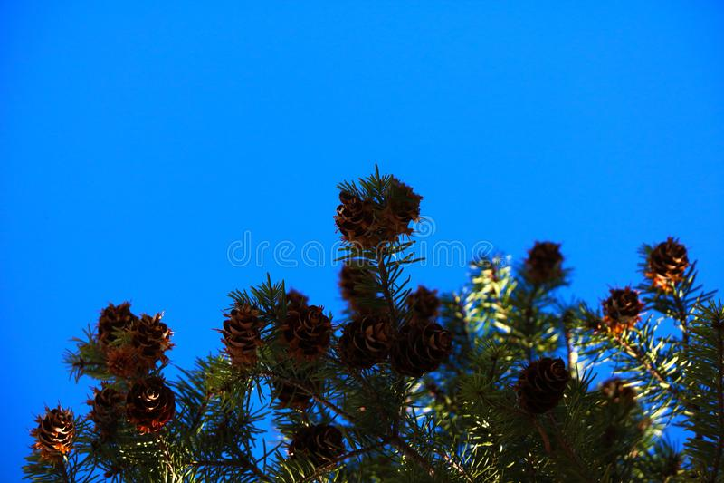 A pine branch with a lot of cones and green needles against the blue sky stock photo