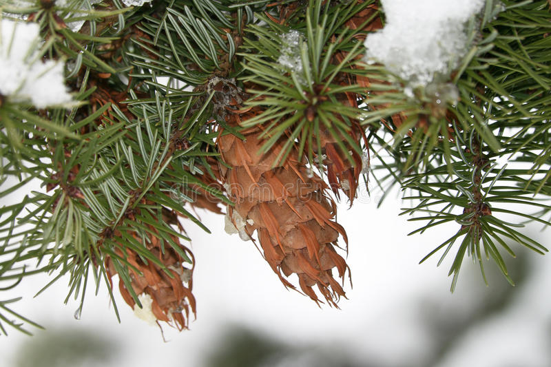 Pine branch with a pinecone royalty free stock image