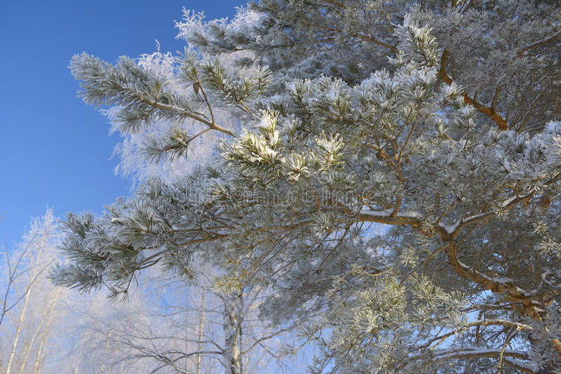 Download Pine branch stock photo. Image of cold, branch, blue - 36892280