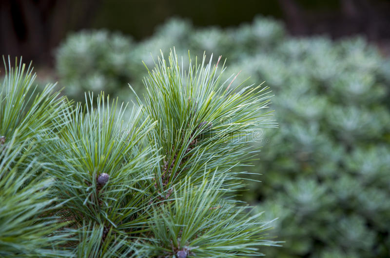 Download Pine branch stock image. Image of forest, romania, branches - 33334731