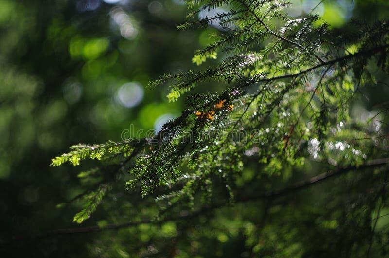 pine branch royalty free stock photos