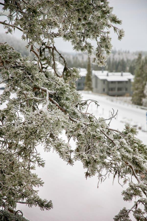Pine branch under snow royalty free stock photos
