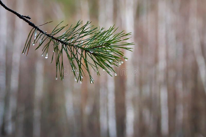 Pine branch with water drops on needles, spruce after rain stock photos