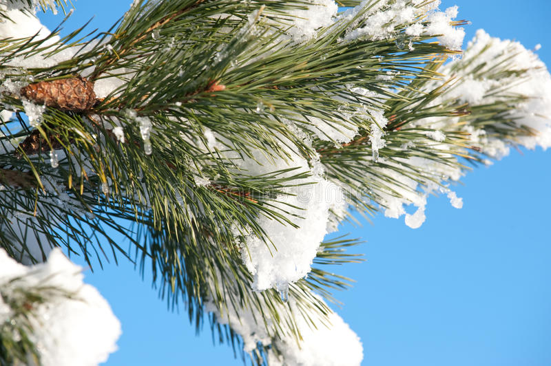 Download Pine branch in the winter stock image. Image of detail - 12627673