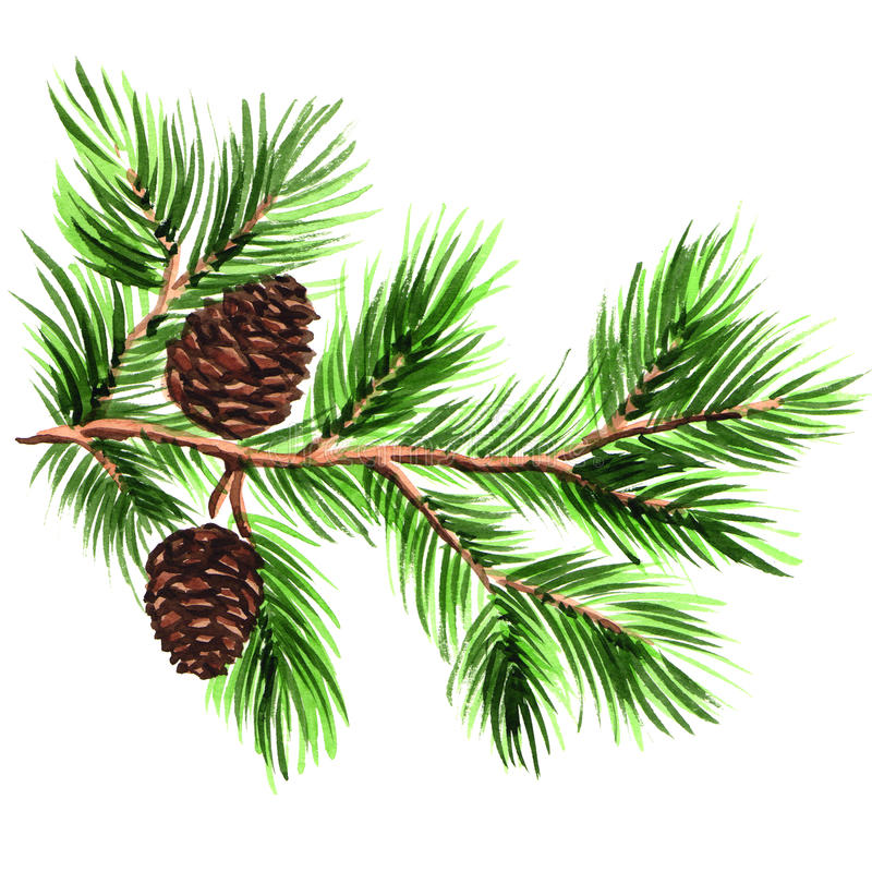 Free Pine Branch With Cones On A White Background Royalty Free Stock Photo - 46252755