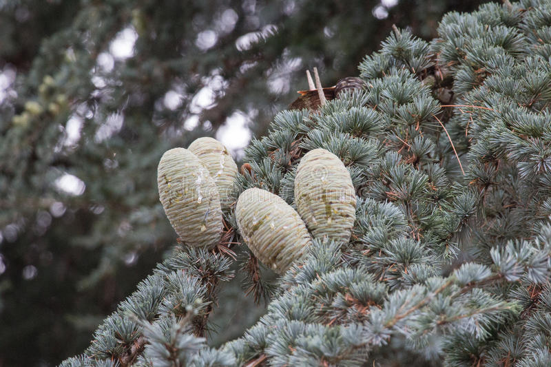 Pine branch with young green cones in summer. royalty free stock images