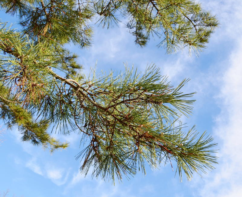 Download Pine branches stock image. Image of leaves, closeup, garden - 29170187