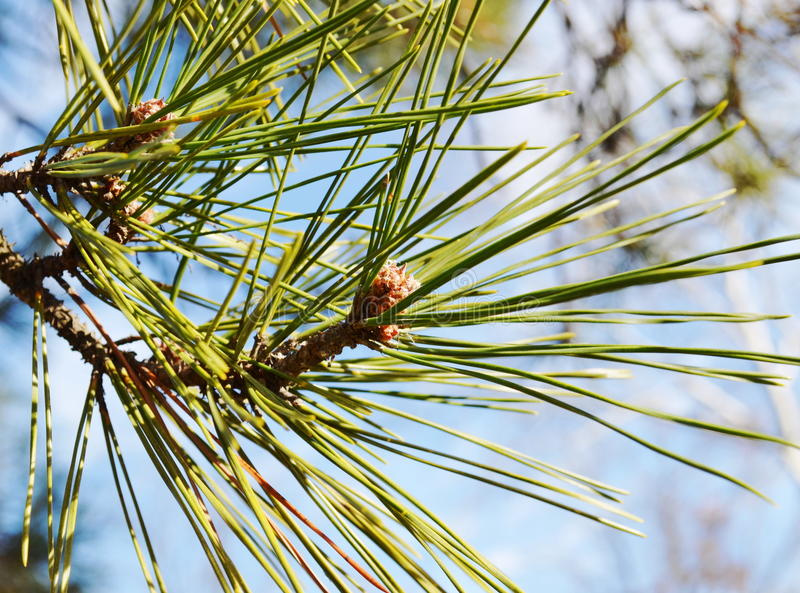 Download Pine branches stock photo. Image of park, pine, grow - 29170188