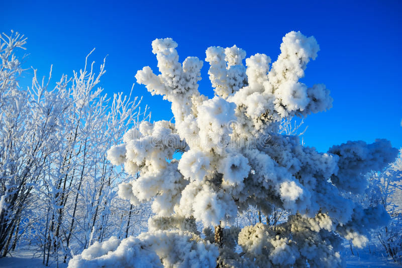 Pine branches covered with hoarfrost in winter. Pine branches covered with frost in winter in Siberia royalty free stock photo