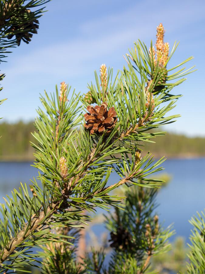 Pine branches with green cones stock photos