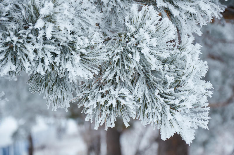 Pine branches with hoarfrost stock photos