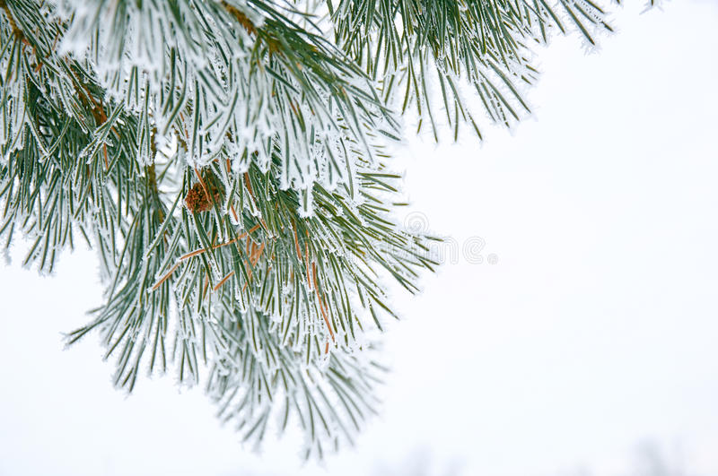 Pine branches with hoarfrost royalty free stock image