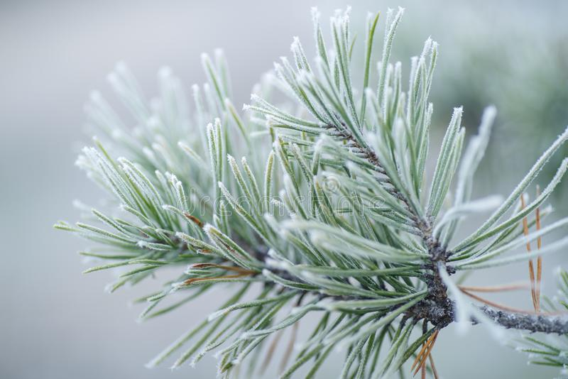 Pine branches in snow.Pine trees covered with frost stock image