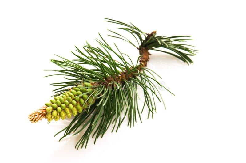 Pine branchon a white background stock photos