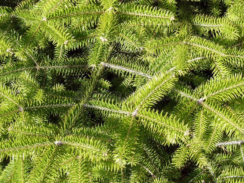 Pine branchs royalty free stock images