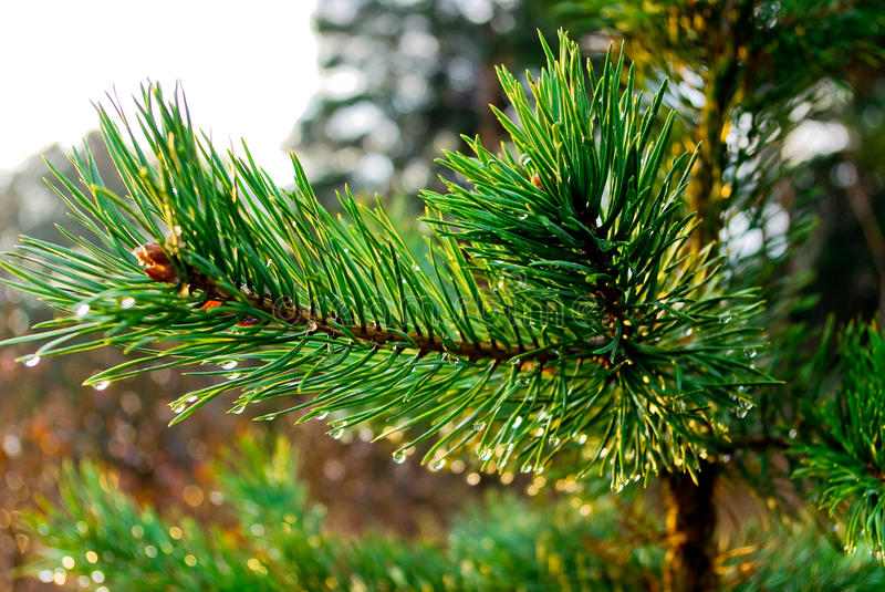 Download Pine Brunch Royalty Free Stock Images - Image: 11894199