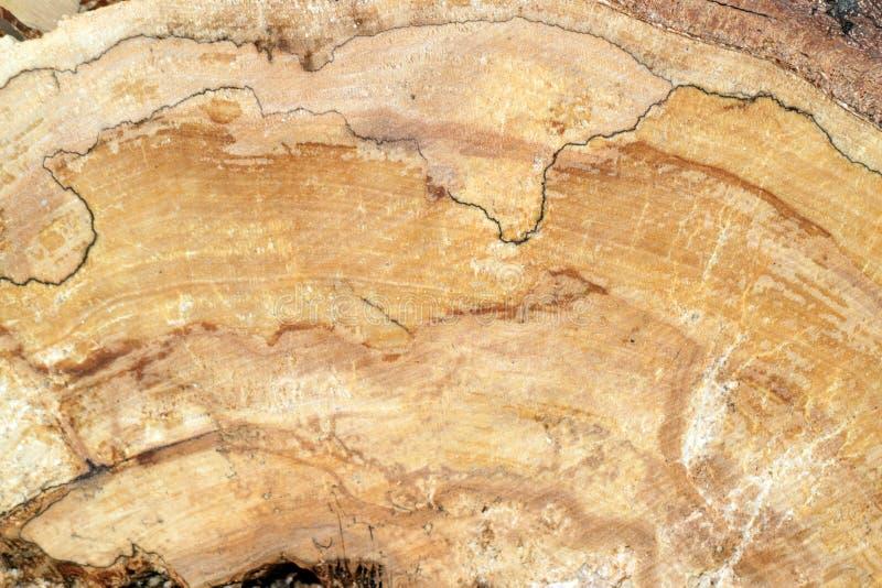 Pine burl wood stock image