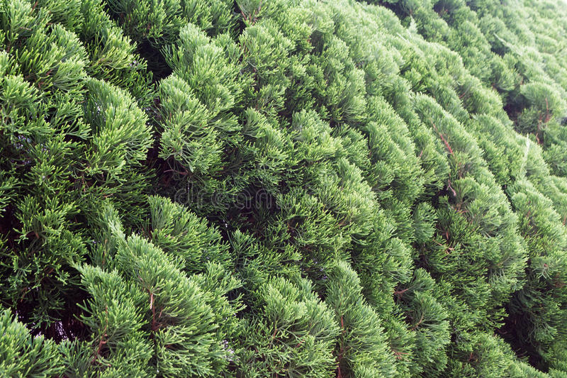 Pine Bush. Captured on the street next to a garden in Tokyo, Japan royalty free stock image