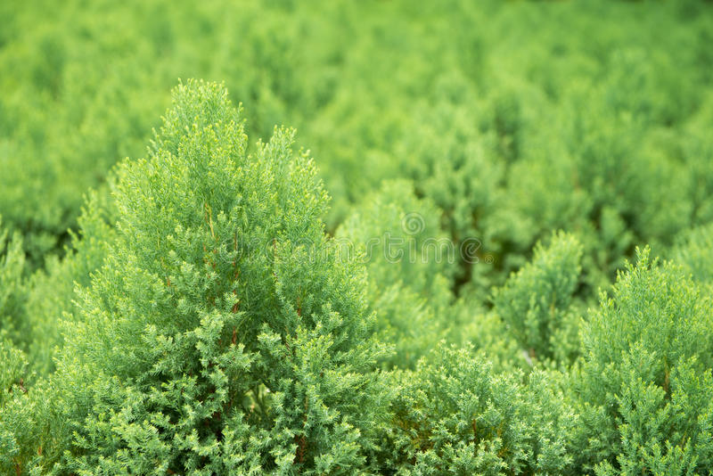 Pine bush. In the garden royalty free stock images