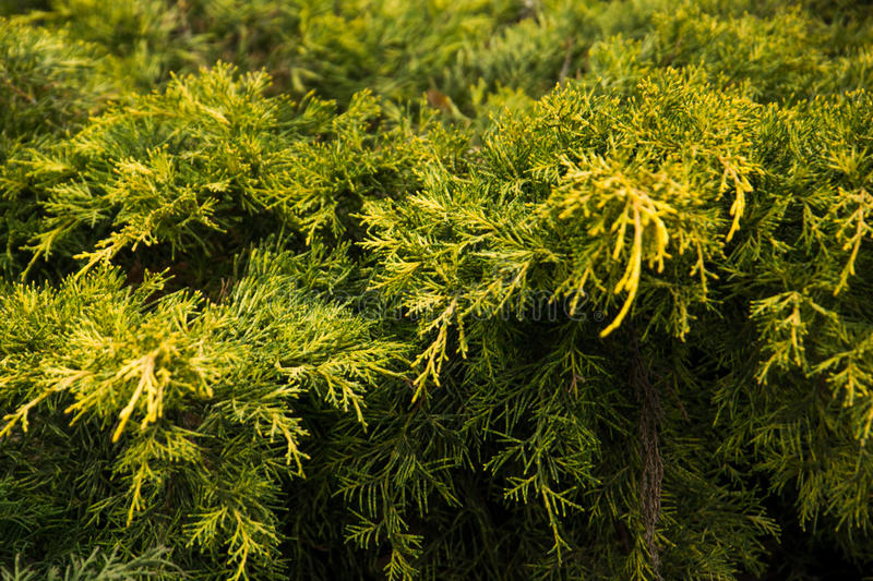 Pine bush. Green pine bush with a touch of yellow, branch royalty free stock images