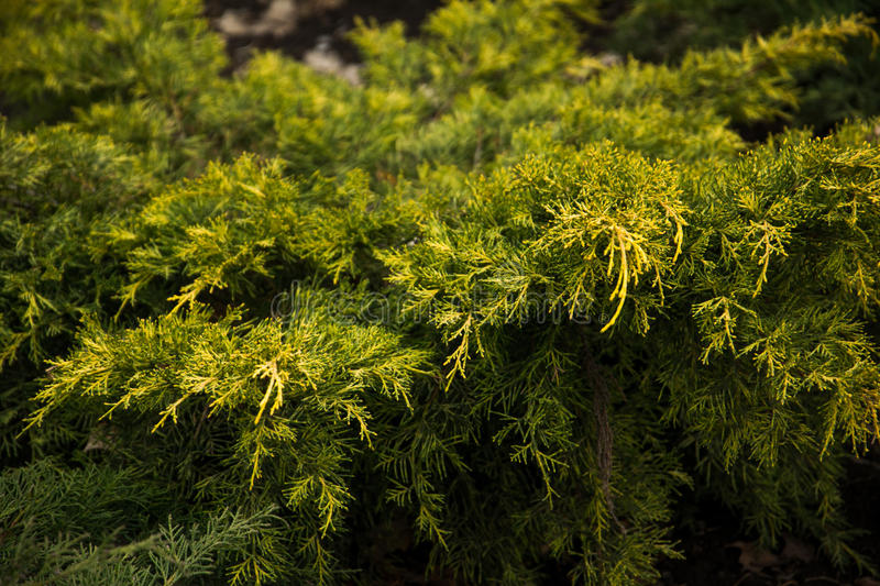 Pine bush. Green pine bush with a touch of yellow, branch stock photo