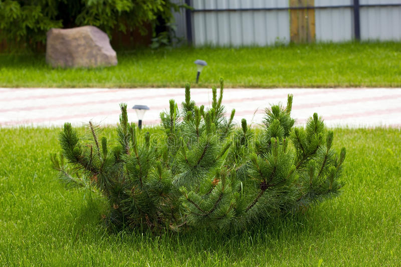 Pine bush on the lawn. Decorative pine bush on the landscaped lawn stock photography
