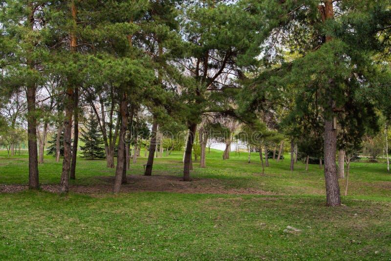 Pine city Park. Park and trees. royalty free stock photos