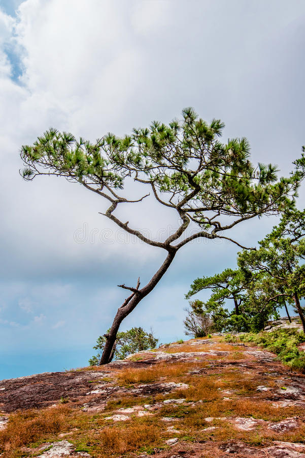 Pine cliff stock photo